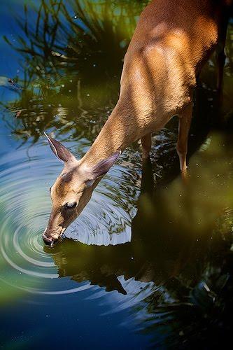 deer water
