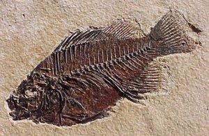 Fossil-Fish-1